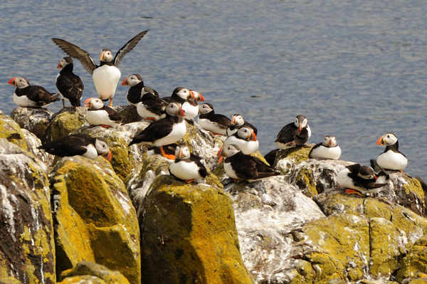 Seabirds and Lighthouses Galore on the Isle of May